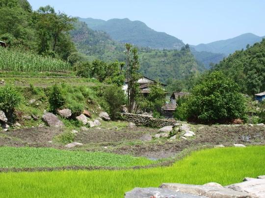 De rijst staat er goed bij in Birethani