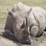 De witte neushoorn in Nakuru