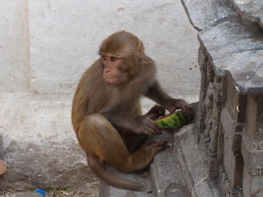 Eén van de vele aapjes bij de Swayambhunath tempel
