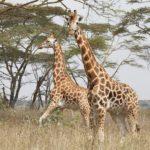 Giraffes in Nakuru