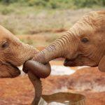 Olifantjes in het Sheldrickcentre