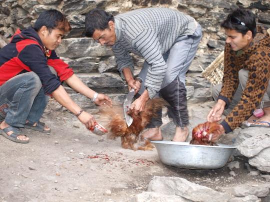 Onze dragers weten wel raad met kippen