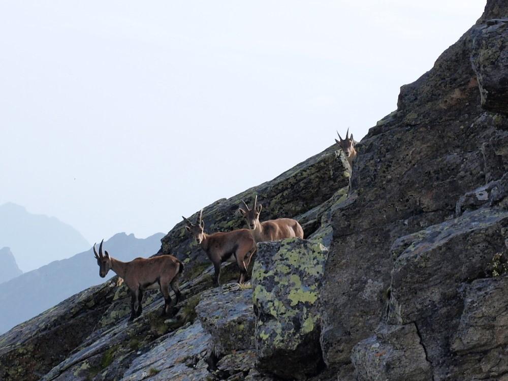 Steenbokken onderweg naar de Klein Litzner