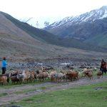 Vrouwen halen de schapen hoog uit de bergen voor de nacht en brengen ze naar Photoksar