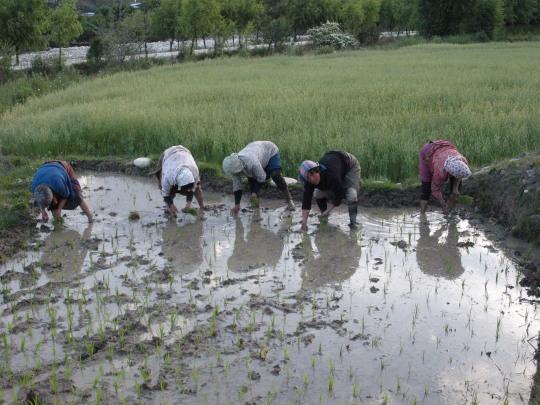 Vrouwen planten rijst