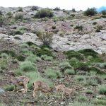 Wilde geiten