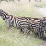 Zebra's in Nakuru
